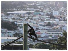 Monkey at Wellington Zoo - Newtown in the background, Wellington, New Zealand