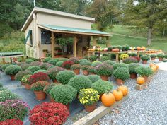 Craggy View Farm Stand, fall mums