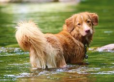 Qantas: Nova Scotia Duck Tolling Retriever. If you get yourself this breed; be prepared for lots of water play. These dogs LOVE to swim. With their soft undercoats, it does not matter how cold the water is.