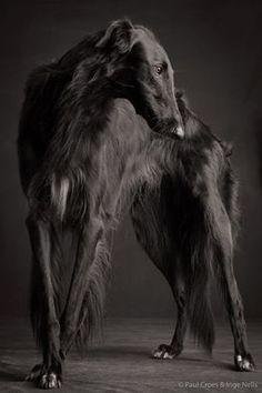 paul croes greyhound - Google Search