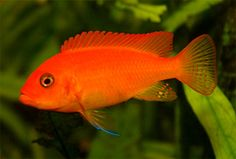 "Metriaclima (Maylandia) estherae: ""red zebra"" (aquarium bred color morph male) - 5"""