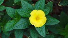 Conheça a planta Damiana, veja para que serve, suas propriedades e efeitos colaterais https://autonomobrasil.com/planta-damiana/