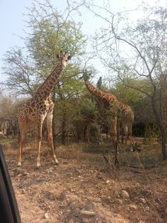 Eating from the top of the trees like winners! Marloth Park, Giraffe, The Good Place, Haha, Trees, Places, Top, Animals, Animales