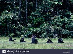 congo forest elephants - Google 検索