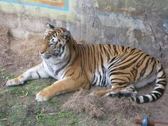 Here is a tiger sitting pretty for the camera at Maharajah Jungle Trek in Asia at Animal Kingdom