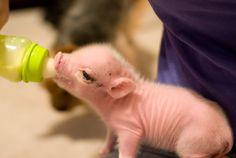 Baby Pig! soo freaking cute! i want one!