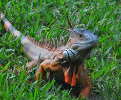 Iguana in South Florida. By Alan Hochman (http://hochmanphotography.com/), http://www.pinterest.com/photobug52/
