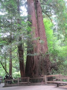 Tree Muir Woods National Monument, Places Ive Been, National Parks, Plants, Plant, Planets