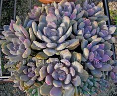 Graptoveria 'Tricolour'  This plant has very thick densely packed plump leaves coloured silver through pink to mauve. Shrub to 20cm tall. Keep trimmed to maintain bushiness. Cream flowers. Sun/part sun.