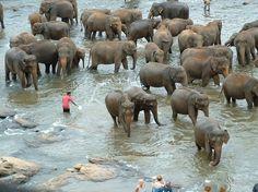Elephant Sanctuary Sri Lanka. Love them.