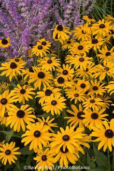 Rudbeckia hirta, Black-eye Susan yellow perennial flower in garden