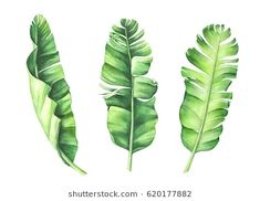 Find Tropical Banana Leaves Set Hand Drawn stock images in HD and millions of other royalty-free stock photos, illustrations and vectors in the Shutterstock collection. Banana Plant Indoor, Banana Plants, Leaf Drawing, Plant Drawing, Tropical Leaves, Tropical Flowers, Leaf Clipart, Leaf Illustration, Leaf Images