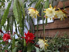 """Epiphyllum spp. """"Orchid cacti"""" ---- lots of colors and foliage textures out there... Really exotic looking"""