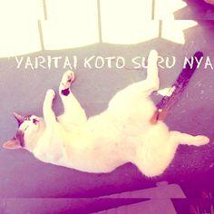やりたいことするにゃん。と、我家のすみれがゴロニャン。#猫 #ねこ #猫部 #家ねこ #CAT#白耳ギャラリーの猫たち