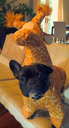 "Here we have a French bulldog disguised as a baby giraffe, preparing for his latest mission. French bulldogs are known for their excellent disguises, dating back to the French Revolution. It is a little known fact that, sadly, it was actually a pug dressed as Marie Antoinette who barked the famous words ""let them eat cake!"" and then was beheaded, while the real Marie Antoinette escaped to Poland."