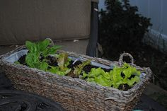 Container gardening:  spinach, lettuce, peas, onions, carrots, and strawberries.