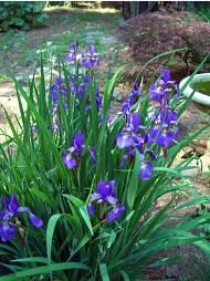 Japanese Iris-for shaded area