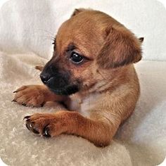 Brookside, NJ - Chihuahua Mix. Meet Marilyn Monroe, a puppy for adoption. http://www.adoptapet.com/pet/11921275-brookside-new-jersey-chihuahua-mix