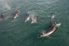 Dauphins, L'Eau, Nouvelle Zélande, Mer, Bleu