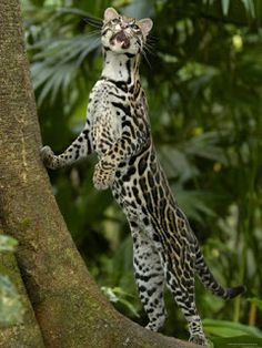 This is an Ocelot from the Amazon Rainforest. also known as the Painted Leopard, McKenney's Wildcat, Jaguatirica (in Brazil), Jaguarete (in Paraguay and Argentina), Tigrillo (in Ecuador and Colombia), Cunaguaro (in Venezuela), or Manigordo (in Costa Rica and Panama) The painter, Salvador Dali, kept one as a pet and named it Babou.