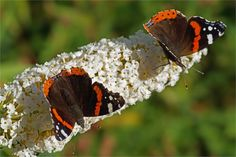 The Red Admiral (Vanessa atalanta) is a well-known colourful butterfly, found in temperate Europe, Asia and North America. The Red Admiral has a 45–55 mm wingspan. The species is resident only in warmer areas, but migrates north in spring, and sometimes again in autumn. This large butterfly is identified by its striking dark brown, red, and black wing pattern. More specifically, the dark wings possess orange bands that cross the fore wings and on the outer edge of the hind wings; white spots…