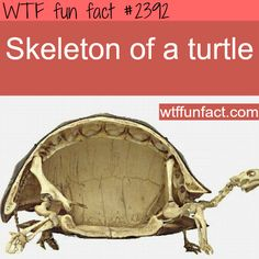 Picture of a skelton of a turtle -WTF funfacts
