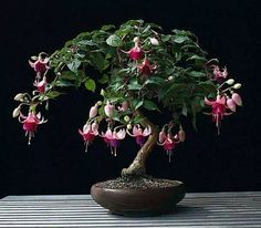A Fuschia Bonsai ! Would love to do this, but I'm not Bonsai patient. Ikebana, Bonsai Garden, Garden Plants, House Plants, Wisteria Bonsai, Air Plants, Cactus Plants, Mini Bonsai, Bonsai Tree Care