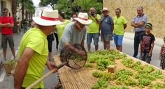 Laying the Moscatell Grapes