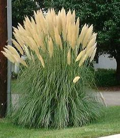 how to cut back pampas grass