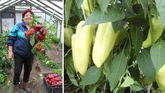 Amoniak patří do pěče a výživy paprik. Lawn And Garden, Eggplant, Celery, Pesto, Fruit, Vegetables, Flowers, Gardening, Red Peppers