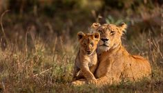If the lion& habitat is further destroyed, the population will be . - If the lion& habitat is further destroyed, the population will decrease further over the next - Animals And Pets, Baby Animals, Cute Animals, Wild Animals, Beautiful Cats, Animals Beautiful, Lioness And Cubs, Lioness And Cub Tattoo, Leopards