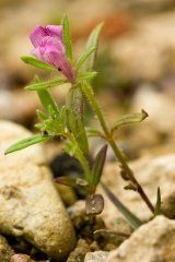 Just Seed British Wild Flower- Weasel's Snout - Misopates orontium - 500 Seed by Just Seed, http://www.amazon.co.uk/dp/B0084C89HW/ref=cm_sw_r_pi_dp_Wrgyrb0MVSJMF
