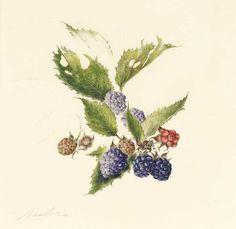 KATE NESSLER BLACKBERRY 1 Watercolour and pencil on vellum 7.25 x 7.5ins (18.4 x 19.1cm)