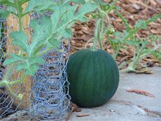 how & when to water watermelon plants