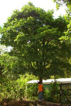 Marmixa - Pradosia lactescens Nativa da Mata Atlântica relativamente rara. Árvore de médio porte, 8 a 12 metros.Comestível. Atrativa a fauna. Aproveitamento da madeira.  Floresce em Outubro, frutifica em Janeiro.