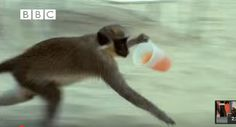 Alcoholic Monkeys Steal Drinks, Lose Their Equi-qui-libri–Oops!