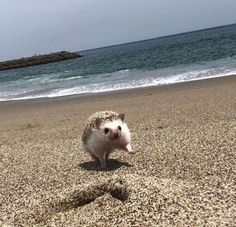 On the beach Baby Animals Super Cute, Cute Little Animals, Cute Funny Animals, Baby Animals Pictures, Cute Animal Photos, Funny Animal Pictures, Hedgehog Pet, Cute Hedgehog, Cute Puppies