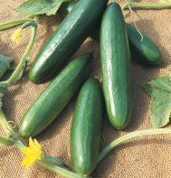 Cucumber 'Diva' produces distinctly tender, crisp, sweet, bitter-free, and seedless cukes. Plants are gynoecious (all-female) and parthenocarpic (grow fruits without pollination). Foliage is nonbitter, hence not as attractive to cucumber beetles as some varieties.