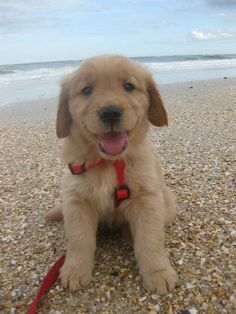 Golden Retriever pup on the beach. This will be my girl loving the sand!