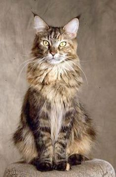 Maine Coons 101 Yes.