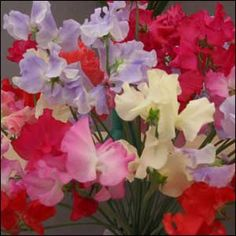 i just learned what sweet peas are.. i love these!! aren't these adorable?? so sweet and whimsical...