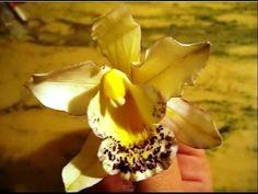 Orquídea Cymbidium en Pasta de Goma - Gum Paste Cymbidium Orchid - YouTube