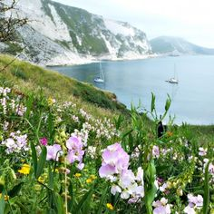 Sweet peas and skylarks at Mupe Bay on Dorset's Jurassic Coast | This Is Your KingdomThis Is Your Kingdom