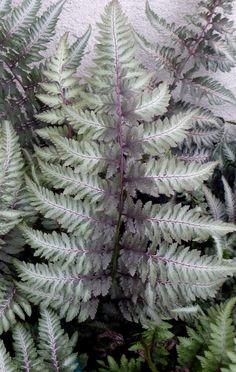 Athyrium Niponicum var. Pictum - a Japanese painted fern