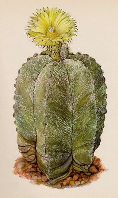 Antique Cactus Print Vintage Botanical Yellow Flower Gallery Wall Art Cottage and Desert Decor Bishops Cap Gift for Gardener Birthday 3463 by plaindealing on Etsy Cactus House Plants, Cactus Art, Cactus Flower, Flower Art, Indoor Cactus, Cactus Painting, Cactus Decor, Botanical Flowers, Botanical Art