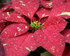 Named for Joel Poinsett, the U.S. minister to Mexico who brought the plants home in 1825, the poinsettia is always decked in holiday colors. Foliage Plants, White Glitter, Poinsettia, Favorite Holiday, Mexico, Strawberry, Planting Flowers, Christmas Decorations, Colors