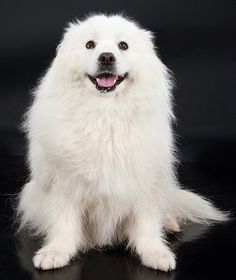 The American Eskimo Dog is a breed of companion dog, originating in Germany. He's a Nordic dog breed, a member Animals And Pets, Cute Animals, Baby Animals, Funny Animals, American Eskimo Puppy, Japanese Spitz Dog, Beautiful Dogs, Cat Breeds, Best Dogs