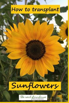 big impact for free! Learn how to transplant sunflowers just in time for spring! Sunflower Seedlings, Perennial Sunflower, Sunflower Garden, Giant Sunflower, Sunflower Art, Sunflower Wreaths, Growing Sunflowers, Planting Sunflowers, Organic Gardening