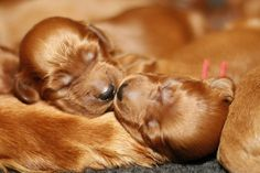 Irish Setter Pups ~ Classic Look