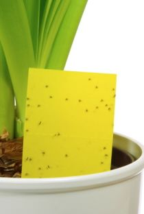 Tips for Getting rid of Gnats - in your indoor houseplants!
